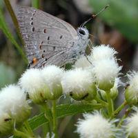Strymon eurytulus libando flores de Baccharis salicifolia