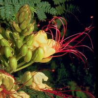 Flores de Caesalpinia gilliesii