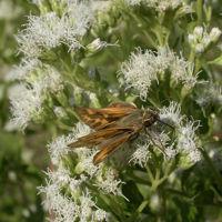 Hylephila phyleus libando néctar de Eupatorium inulifolium