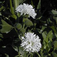 Gymnocoronis spilanthoides var. subcordata