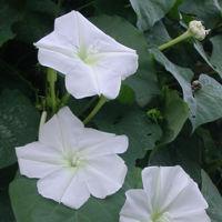 Flores de Ipomoea alba