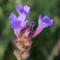 Detalle de las flores de Verbena intermedia