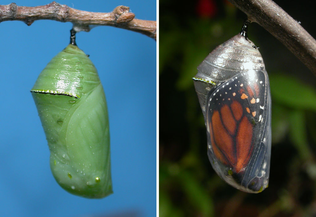 Diurnas   Cómo criar mariposas