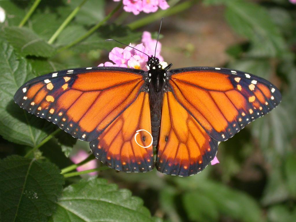 Diurnas | Cómo criar mariposas